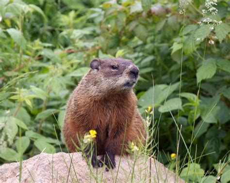 groundhog day reference 17 best images about woodchuck reference on