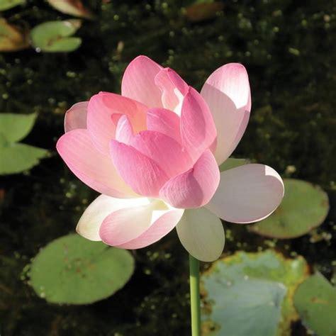 lotus flower hindu the gallery for gt hindu lotus flower designs
