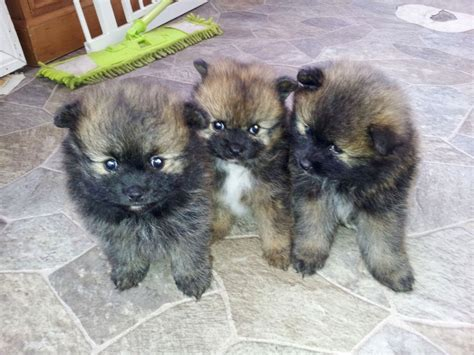 black pomeranian puppies for adoption worms in puppys puppies puppy