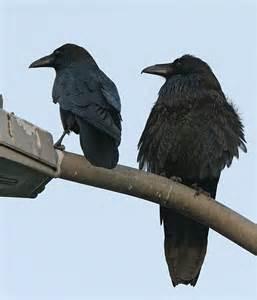 raven vs crow natural wonders pinterest posts cas