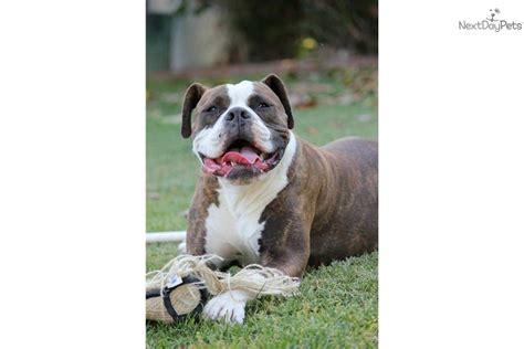 American Bulldog Shedding by American Bulldog Puppy For Sale Near Fresno Madera