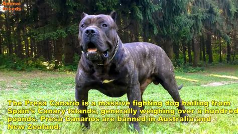 banned breeds top 10 banned dogs from some countries funnydog tv