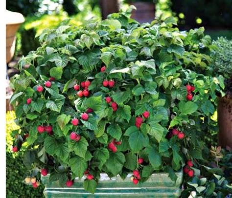 flowering raspberry shrub flowering raspberry bush my yard