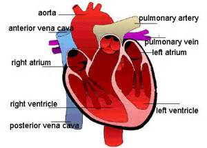 sections of the heart parts of the heart mayazalbi