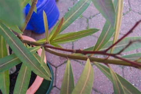 wann schneidet oleander alte bl 252 tenst 228 nde beim oleander mein sch 246 ner garten forum
