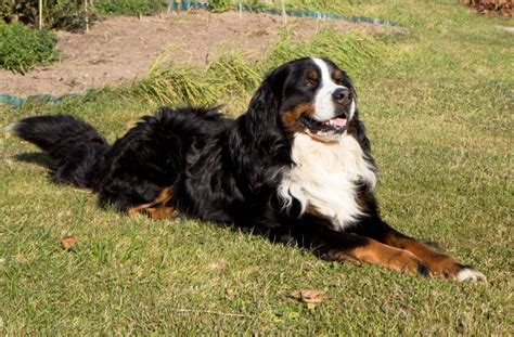 haired bernese mountain hair bernese mountain breeds picture