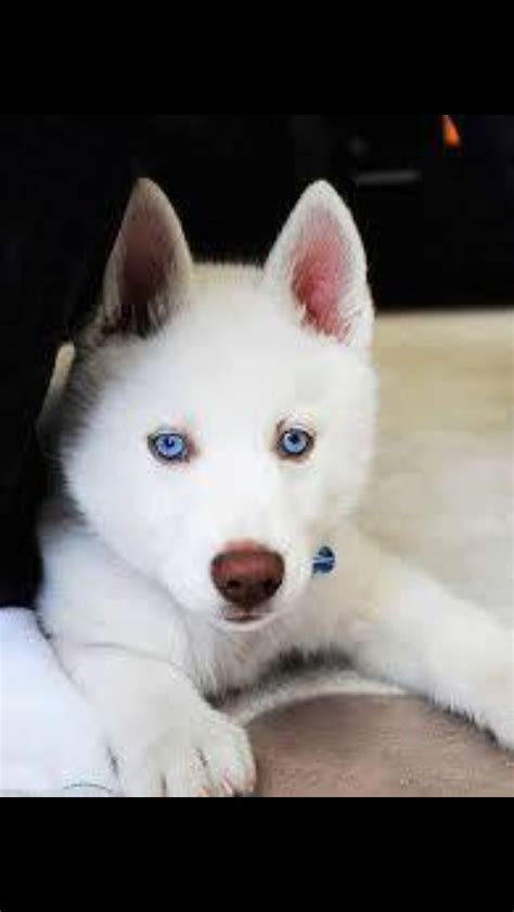 all white husky puppies the gallery for gt all white husky puppies