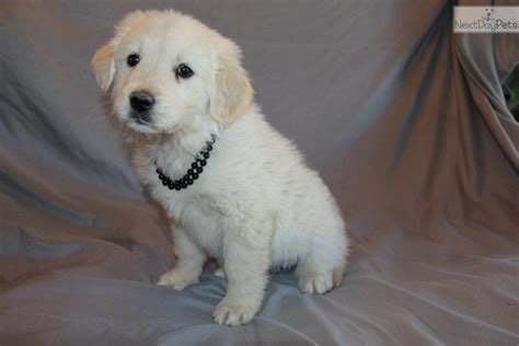 golden pyrenees puppies for sale golden retriever great pyrenees mix puppies for sale breeds picture