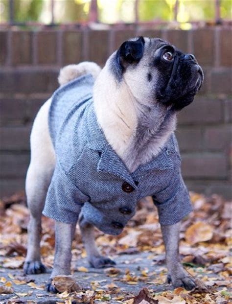 pug in a suit business pug pug business suit dressedup dapper pug photos