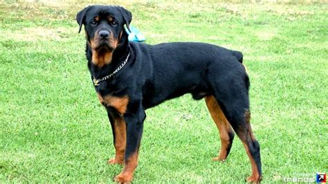 german rottweiler mix german shepherd rottweiler mix everything you need to breeds picture