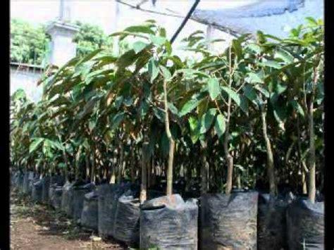 Jual Bibit Bambu Bogor jual bibit durian di bogor hub 08121605732