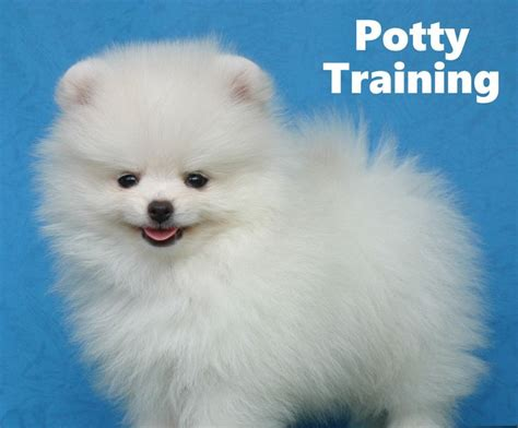 how to potty your pomeranian puppy 31 best housebreaking puppies images on how to potty potty