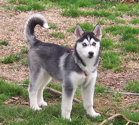 dogs like huskies breeds that look like wolves pets world