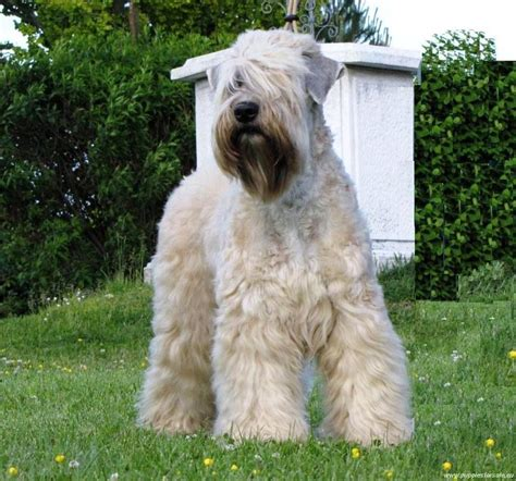 soft coat wheaten terrier puppies image gallery softcoatedwheatenterrier