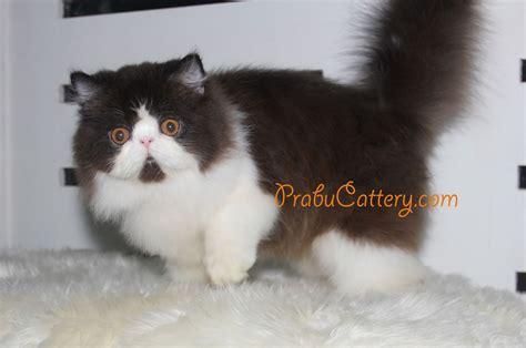Sho Kucing Yang Bagus prabu cattery catiquette etika dalam memelihara kucing