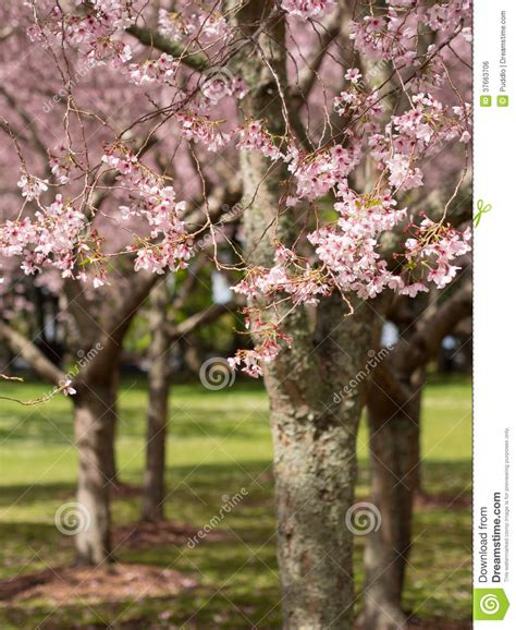 cherry blossom cornwall park auckland new zealand stock photo image of scenic blossom