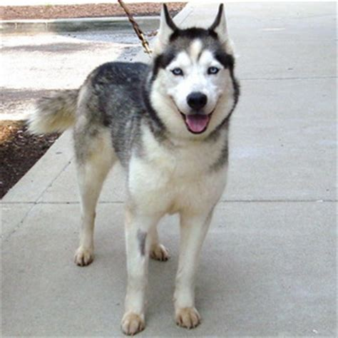 northern lights siberian husky rescue sos srf rescue cases 2010