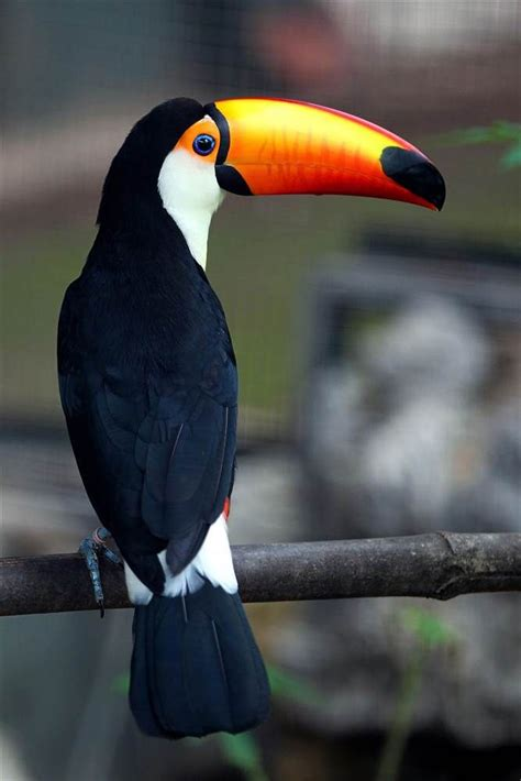 birds with colorful beaks 17 best images about toucan on park in