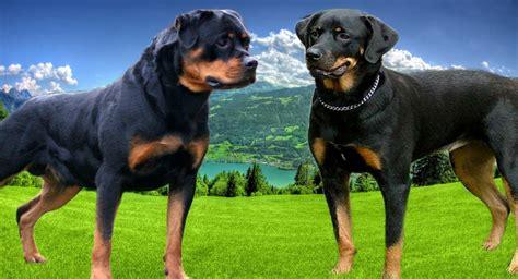 rottweiler karakter amerikaanse rottweiler en duitse rottweiler de 5 verschillen rottweiler start