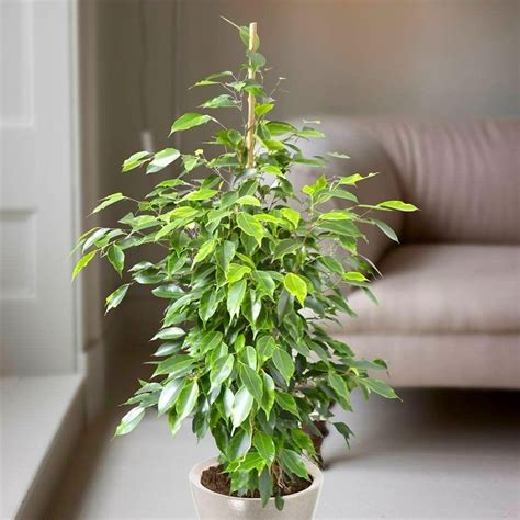 tree plant ficus benjamina weeping fig tree house plant