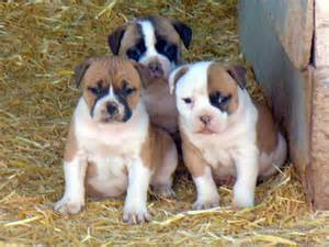 Pictures bully puppies for sale american pitbull puppies for sale help