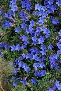 blue flowering shrub evergreen shrub with blue flowers quotes