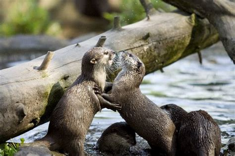 otters playing otter facts  information