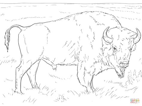 Realistic American Bison Coloring Page Free Printable Bison Coloring Pages