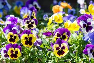 Light Blue Bathroom Ideas how to grow and care for pansies