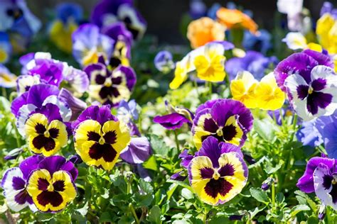 Purple Bathroom Ideas how to grow and care for pansies