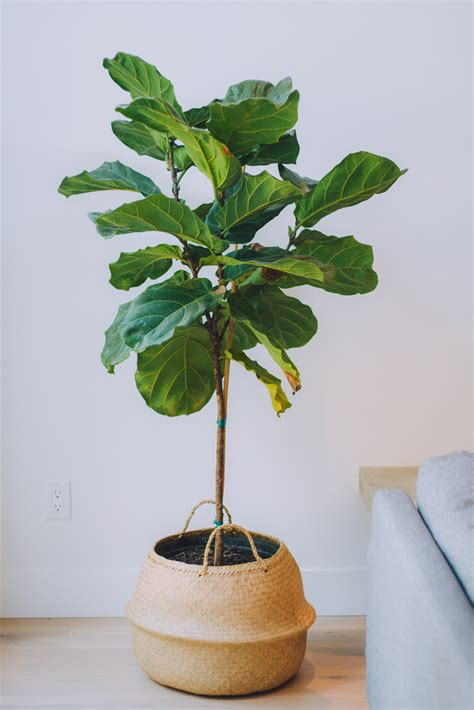 how to keep a fiddle leaf fig alive and happy fiddle fiddle leaf fig tree minneapolis st paul mn wagners