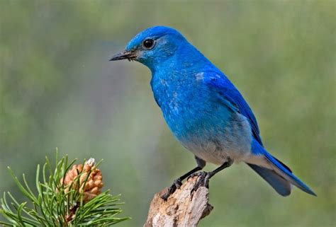 when is a blue bird not blue smithsonian insider