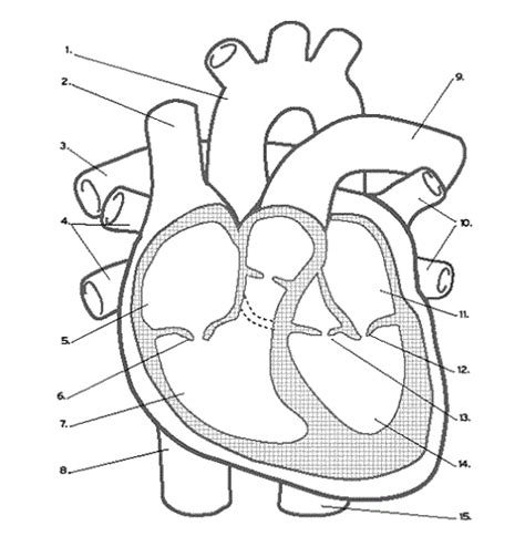 heart diagram coloring page using simple heart diagram learning medium for kids