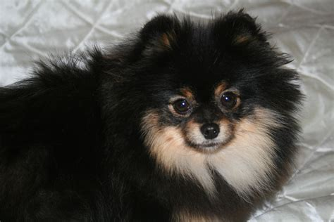 black and pomeranian black and pomeranian 171 klein 180 s pomeranian