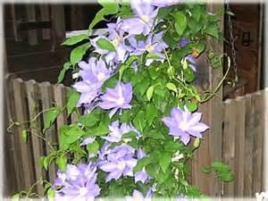 List Of Climbing Plants - midtown garden market n wilkesboro nc