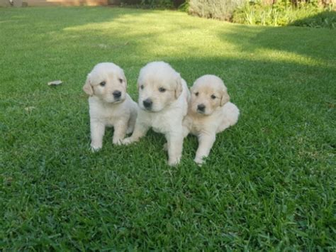 golden retriever puppies east golden retriever puppies east rand dogs and puppies 65070150 junk mail classifieds