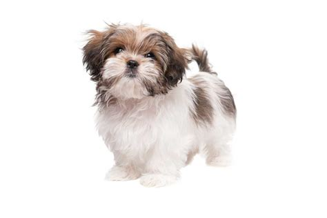 shih tzu maltese breed maltese shih tzu breed 187 everything about the malshi