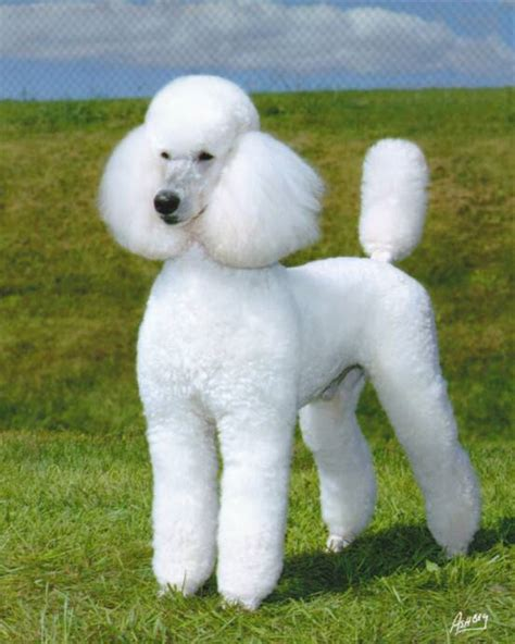 average standard poodle lifespan home hstrial lpaigepoodles homestead