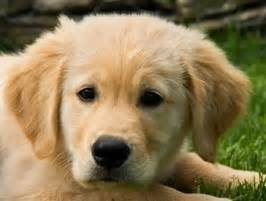 golden retriever breeders ottawa ottawa valley golden retriever club owners breeders and fanciers puppies trials