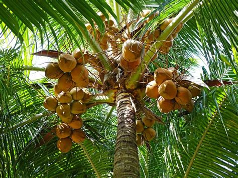 Uses Of The Coconut Palm by Coconut Uses And Benefits You Probably Don T