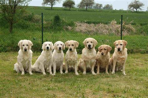 golden retriever shop golden retriever o apaixonante arteiro desengon 231 ado pet