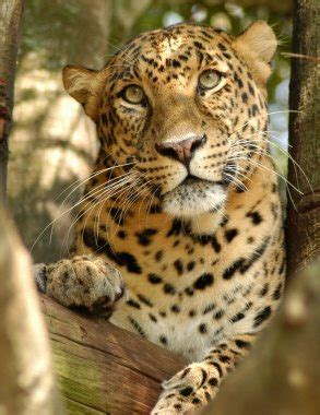 saving the snow leopards big cat rescue cheetaro the leopard at big cat rescue