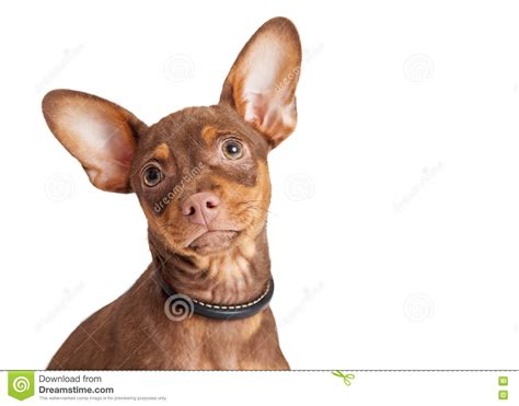 puppies with big ears portrait small big ears white stock image image 72268077