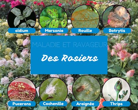 Reconnaitre Maladie Plantes by Reconna 238 Tre Les Maladies Et Ravageurs Des Rosiers Jardin