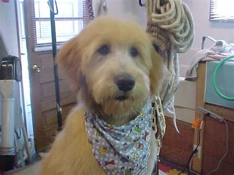 best recomendatuons for haircuts for goldendoodles best 25 goldendoodle grooming ideas on pinterest