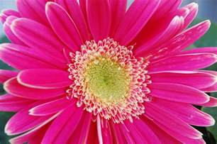 Gerber Daisies by Gallery For Gt Pink Gerber Daisy