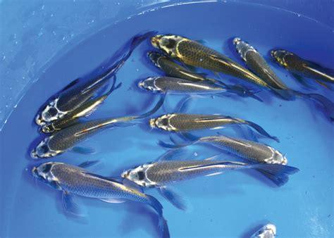 blue koi fish live blue koi fish