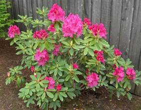 cynthia rhododendron plant
