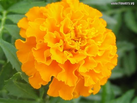marigolds shade marigold flower types pinterest