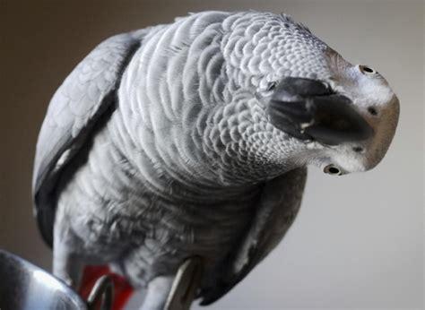 cenerino alimentazione pappagallo cenerino come allevarlo velvetpets